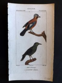 Turpin C1820 Hand Col Bird Print. European Jay, Spotted Nutcracker 53